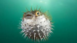 Name:  angry puffer fish.jpg Views: 365 Size:  13.0 KB