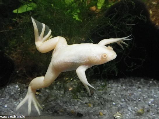 Name:  large-Albino%20Aquatic%20frog.jpg