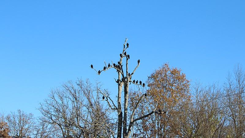 Name:  American Black Vultures 1.jpg Views: 962 Size:  131.5 KB