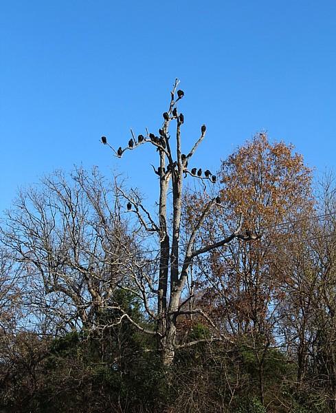 Name:  American Black Vultures 2.jpg Views: 938 Size:  141.9 KB