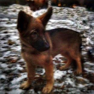 Name:  New police dog Dobrynya .jpg Views: 133 Size:  40.1 KB