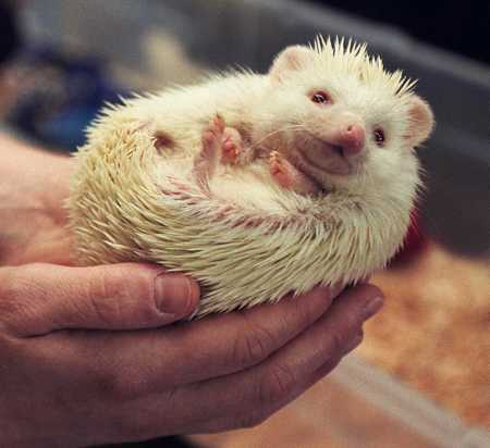 how to get a pet hedgehog in australia